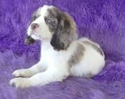 fletchdash@yahoo.com Home raised cocker spaniel puppies available