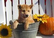 Home Trained Shiba Inu For Sale