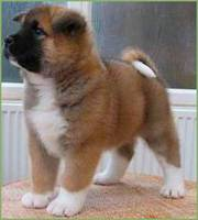 milkish and sweet akita puppy seeking a peaceful home