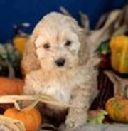 adorable little Cockapoo puppies for sale