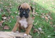 Boxer Puppies For Beautiful Homes