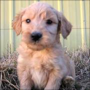 Home Raised Goldendoodles Puppies for Sale