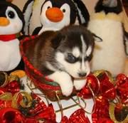Purebred Siberian Husky Puppies For pet lovers